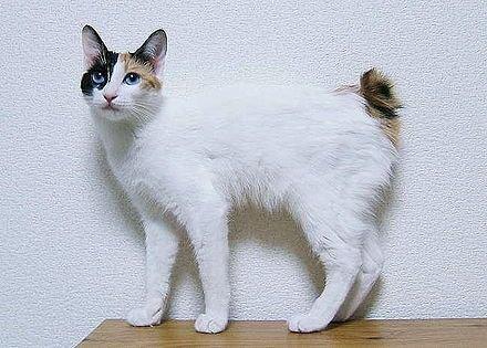 9e58f64c21c2c1fc617eb796b467f288--japanese-bobtail-bobtail-cat.jpg